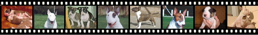 A selection of photos of  Credetta Bull Terriers